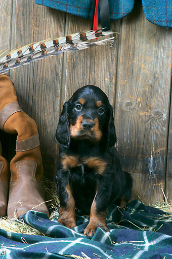 PUP 20 JD0017 01 © Kimball Stock Gordon Setter Puppy Sitting On Blanket By Boot And Hay