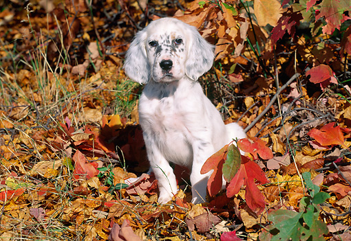 PUP 20 LS0001 01 © Kimball Stock English Setter Puppy Sitting In Fallen Leaves In Woods