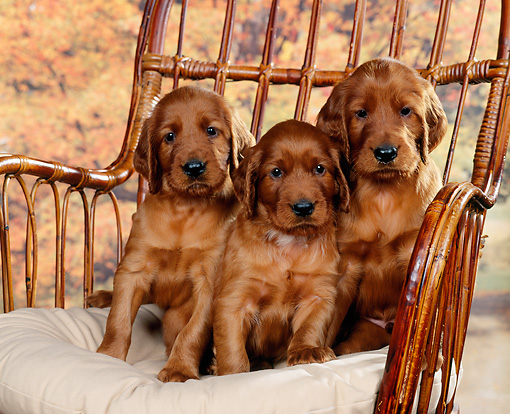 PUP 20 RK0001 07 © Kimball Stock Three Irish Setter Puppies Sitting On Chair Studio