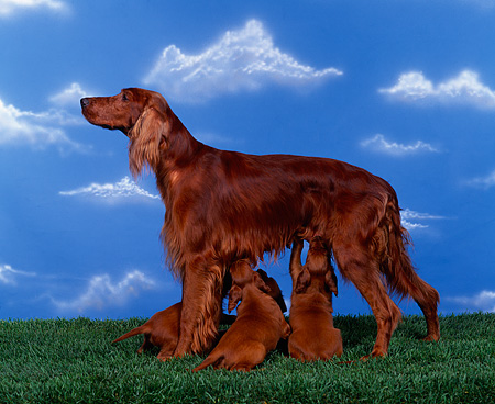 PUP 20 RK0002 03 © Kimball Stock Irish Setter Mom Nursing Puppies On Grass