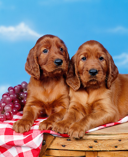 PUP 20 RK0004 05 © Kimball Stock Two Irish Setter Puppies Laying On Top Of Picnic Basket By Fruit Studio