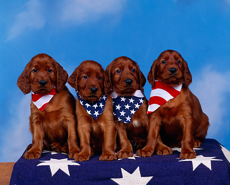 PUP 20 RK0005 20 © Kimball Stock A Group Of Irish Setter Puppies Sitting In A Row Wearing Flag Bandanas On Star Blanket Blue Background