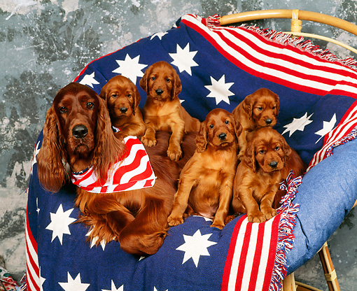 PUP 20 RK0006 03 © Kimball Stock Irish Setter Mom And Puppies In Patriotic Chair Studio
