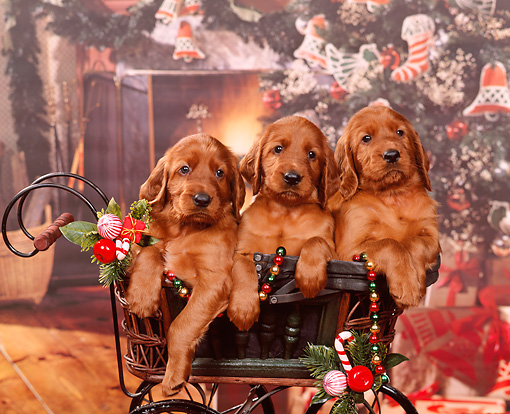 PUP 20 RK0008 04 © Kimball Stock 3 Irish Setter Puppies Sitting In Christmas Decorated Carriage Facing Camera