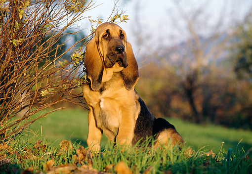 PUP 21 CB0001 01 © Kimball Stock Bloodhound Puppy Sitting On Grass In Autumn