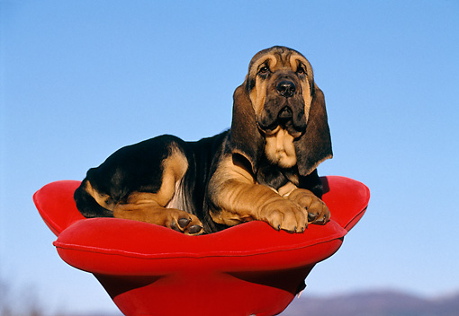 PUP 21 CB0003 01 © Kimball Stock Bloodhound Puppy Laying In Red Dog Bed Shaped Like Flower