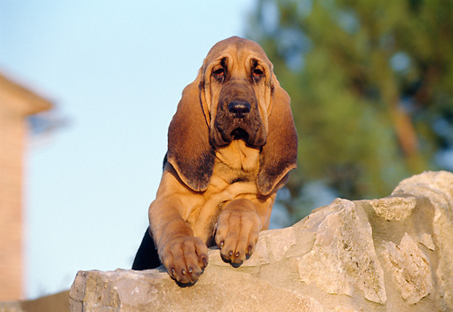 PUP 21 CB0004 01 © Kimball Stock Bloodhound Puppy Leaning On Rock
