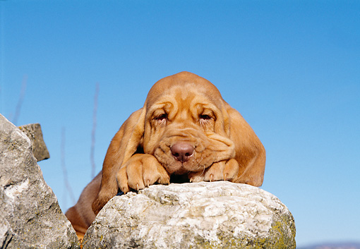 PUP 21 CB0011 01 © Kimball Stock Close-Up Of Bloodhound Puppy Resting On Rock