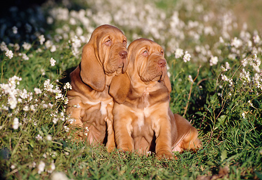 PUP 21 CB0019 01 © Kimball Stock Two Bloodhound Puppies Sitting In Grass And Wildflowers