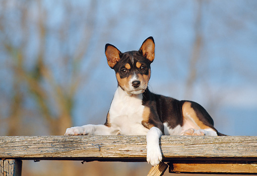 PUP 21 CB0020 01 © Kimball Stock Basenji Puppy Laying On Wooden Plank