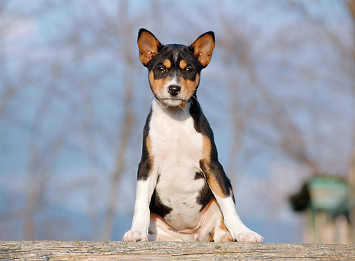 PUP 21 CB0021 01 © Kimball Stock Basenji Puppy Sitting On Wooden Plank