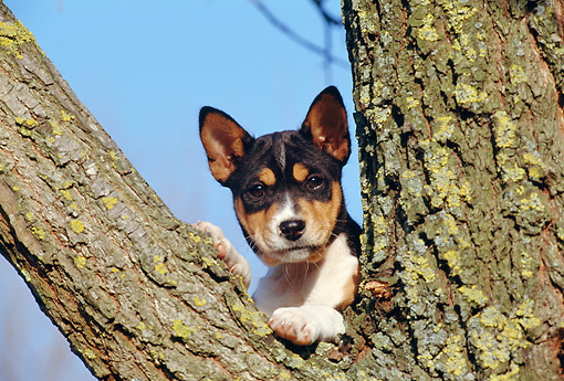 PUP 21 CB0023 01 © Kimball Stock Basenji Puppy Leaning On Tree Trunk