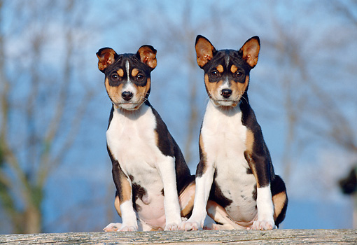 PUP 21 CB0024 01 © Kimball Stock Two Basenji Puppies Sitting On Wooden Plank