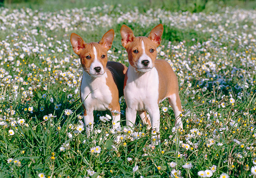 PUP 21 CB0025 01 © Kimball Stock Two Basenji Puppies Standing In Field Of Wildflowers
