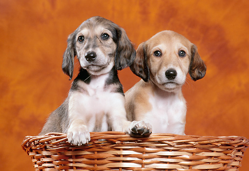 PUP 21 CB0027 01 © Kimball Stock Two Saluki Puppies Sitting In Wicker Basket In Studio