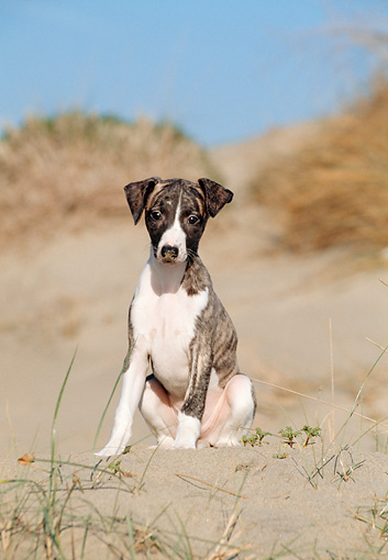 PUP 21 CB0031 01 © Kimball Stock Whippet Puppy Sitting On Sand