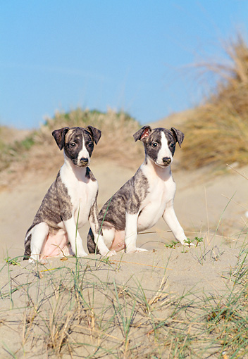 PUP 21 CB0032 01 © Kimball Stock Two Whippet Puppies Sitting On Sand