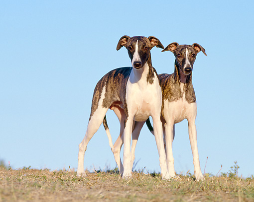 PUP 21 CB0033 01 © Kimball Stock Two Whippet Puppies Standing On Dry Grass