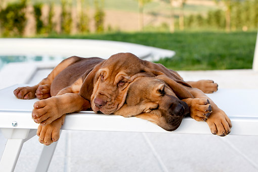 PUP 21 CB0035 01 © Kimball Stock Two Bloodhound Puppies Sleeping On Chair By Pool