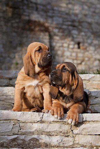 PUP 21 CB0038 01 © Kimball Stock Two Bloodhound Puppies On Stone Steps
