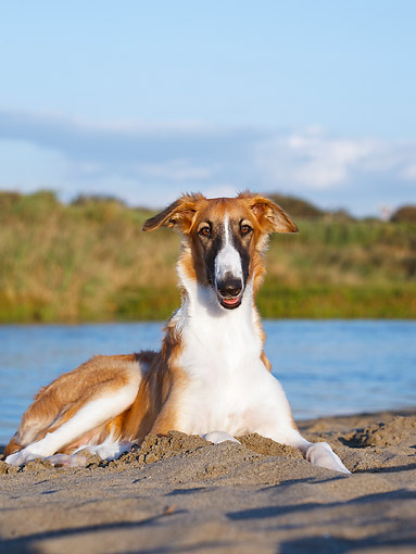 PUP 21 CB0043 01 © Kimball Stock Borzoi Puppy Laying On Beach
