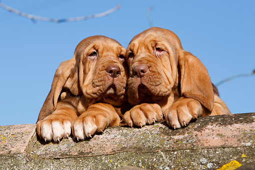 PUP 21 CB0046 01 © Kimball Stock Bloodhound Puppies Sitting On Rock