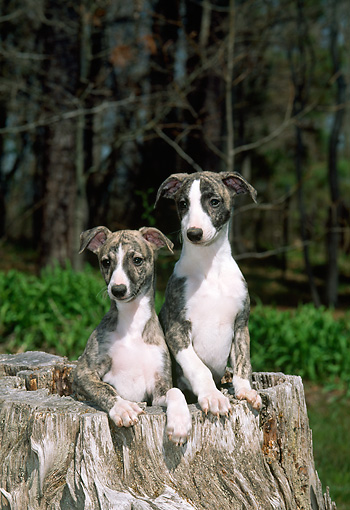 PUP 21 CE0033 01 © Kimball Stock Whippet Puppies Sitting In Hollow Log In Forest