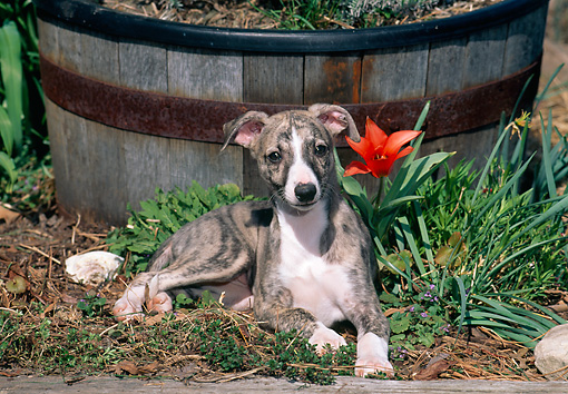 PUP 21 CE0034 01 © Kimball Stock Whippet Puppy Laying By Planter Box And Flower