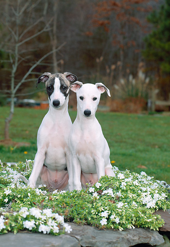 PUP 21 CE0035 01 © Kimball Stock Whippet Puppies Sitting On Grass By White Flowers