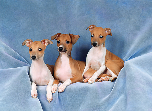 PUP 21 FA0008 01 © Kimball Stock Italian Greyhound Puppies Laying In Studio