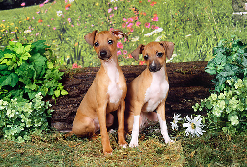PUP 21 FA0009 01 © Kimball Stock Italian Greyhound Puppies Sitting By Log And Wildflowers