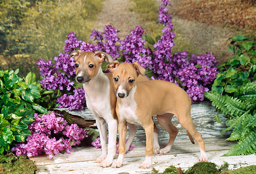 PUP 21 FA0010 01 © Kimball Stock Italian Greyhound Puppies Standing On Wooden Deck By Purple Flowers