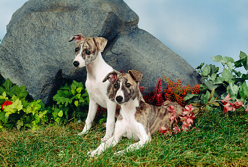 PUP 21 FA0012 01 © Kimball Stock Whippet Puppies Sitting On Grass By Boulder