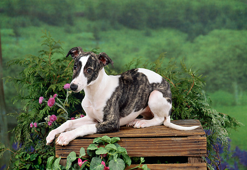 PUP 21 FA0013 01 © Kimball Stock Whippet Puppy Laying On Wooden Crate By Pink Flowers