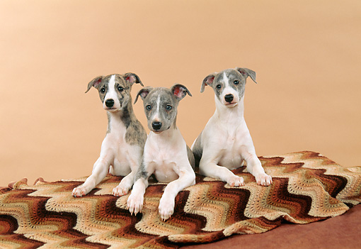 PUP 21 FA0014 01 © Kimball Stock Whippet Puppies Laying On Brown Blanket In Studio