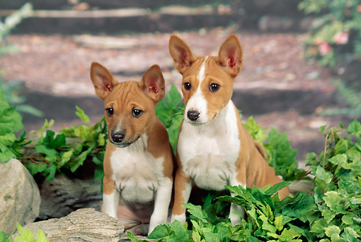 PUP 21 FA0015 01 © Kimball Stock Basenji Puppies Sitting In Garden