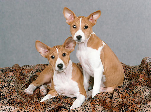 PUP 21 FA0016 01 © Kimball Stock Basenji Puppies On Blanket In Studio