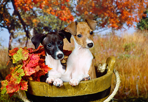 PUP 21 FA0017 01 © Kimball Stock Italian Greyhound Puppies Sitting In Wooden Bucket By Autumn Trees