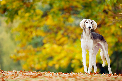PUP 21 JE0002 01 © Kimball Stock Saluki Puppy Standing On Grass And Fallen Leaves