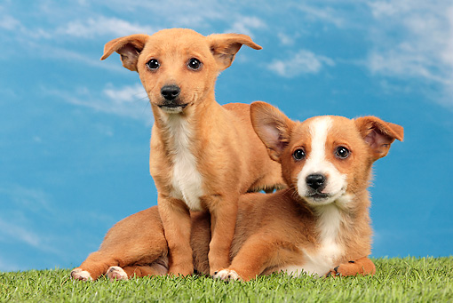 PUP 21 JE0008 01 © Kimball Stock Two Portuguese Podengo Puppies On Grass Against Blue Sky