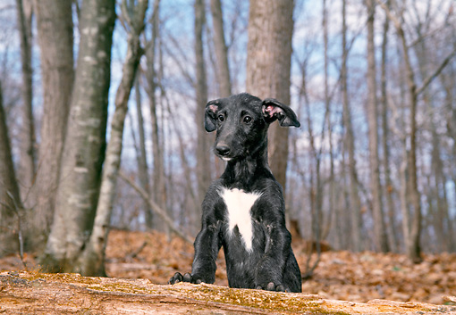 PUP 21 JN0001 01 © Kimball Stock Scottish Deerhound Puppy Leaning On Log In Woods