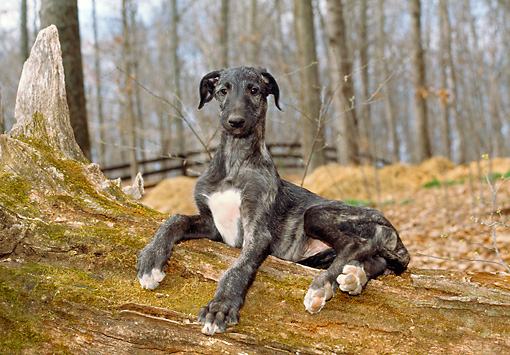 PUP 21 JN0003 01 © Kimball Stock Scottish Deerhound Puppy Laying On Log In Woods