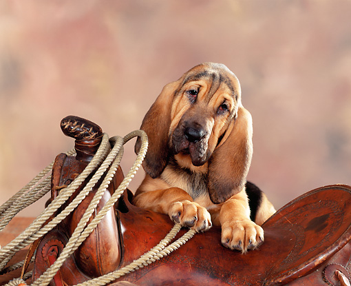 PUP 21 RK0001 05 © Kimball Stock Bloodhound Puppy On Saddle With Rope Brown Mottled Background