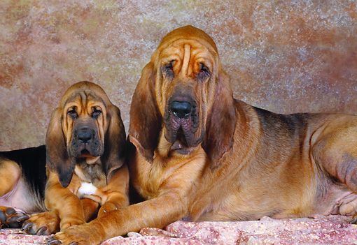 PUP 21 RK0010 04 © Kimball Stock Bloodhound Puppy And Mom Laying Next Together Brown  Mottled Background