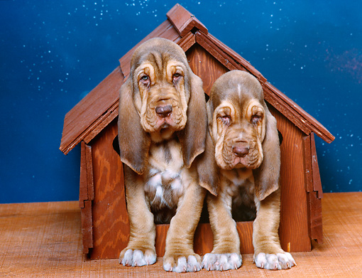 PUP 21 RK0024 17 © Kimball Stock Two Bloodhound Puppies Sitting Together In Dog House Starry Night Background