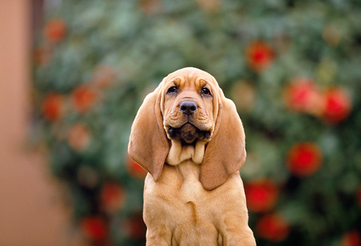 PUP 21 RK0037 07 © Kimball Stock Shoulder Shot Of Bloodhound Puppy Sitting Facing Camera