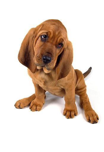 PUP 21 RK0039 21 © Kimball Stock Wide Angle Of Bloodhound PUppy Sitting On White Seamless Facing Camera