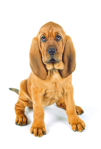 PUP 21 RK0040 05 © Kimball Stock Bloodhound Puppy Sitting On White Seamless