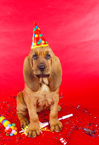 PUP 21 RK0045 04 © Kimball Stock Bloodhound Puppy Wearing Party Hat On Red Seamless