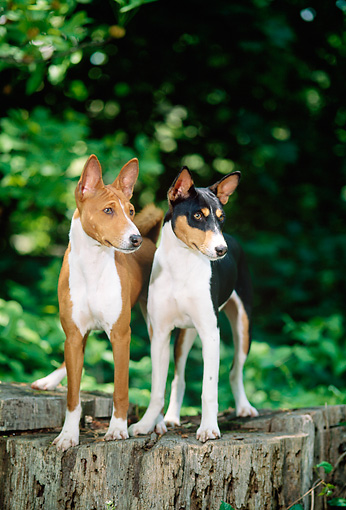 PUP 21 CE0001 01 © Kimball Stock Two Basenji Puppies Standing On Stump By Trees